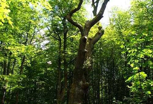 Drewno dębowe – parametry techniczne